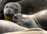PINNIPED - SEAL - ELEPHANT SEAL - WEANERS MAINLY - ANO NUEVO SPECIAL RESERVE CALIFORNIA 4.JPG