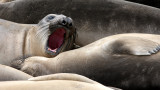 PINNIPED - SEAL - ELEPHANT SEAL - WEANERS MAINLY - ANO NUEVO SPECIAL RESERVE CALIFORNIA 11.JPG
