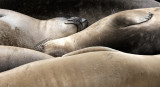 PINNIPED - SEAL - ELEPHANT SEAL - WEANERS MAINLY - ANO NUEVO SPECIAL RESERVE CALIFORNIA 17.JPG