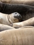 PINNIPED - SEAL - ELEPHANT SEAL - WEANERS MAINLY - ANO NUEVO SPECIAL RESERVE CALIFORNIA 20.JPG