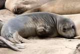 PINNIPED - SEAL - ELEPHANT SEAL - WEANERS MAINLY - ANO NUEVO SPECIAL RESERVE CALIFORNIA 22.JPG
