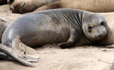 PINNIPED - SEAL - ELEPHANT SEAL - WEANERS MAINLY - ANO NUEVO SPECIAL RESERVE CALIFORNIA 25.JPG