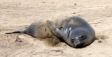 PINNIPED - SEAL - ELEPHANT SEAL - WEANERS MAINLY - ANO NUEVO SPECIAL RESERVE CALIFORNIA 27.JPG
