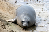 PINNIPED - SEAL - ELEPHANT SEAL - WEANERS MAINLY - ANO NUEVO SPECIAL RESERVE CALIFORNIA 33.JPG