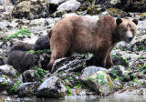 Bears & Wildlife of Knight Inlet, British Columbia