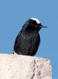 Local inhabitant, Mt Sinai