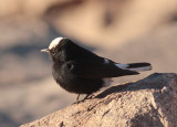 Local inhabitant, Mt Sinai