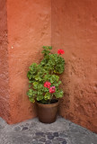 Geraniums.