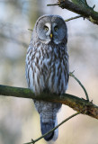 Great Grey Owl - Lappuggla
