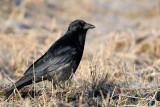 Carrion Crow - Svart kråka