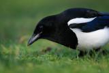 Skata - Magpie