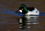 Common Goldeneye - Knipa