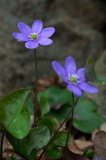 Blåsippa - Hepatica nobilis
