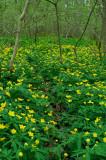 Gulsippor - Anemone ranunculoides