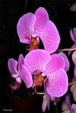 Phalaenopsis Dimension ® (Sion)