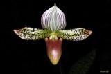 Paphiopedilum Makuli (callosum x sukhakulii)