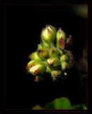 geranium_bud01_1772.jpg