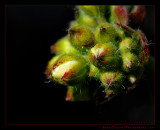 geranium_bud02_1773.jpg