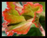 geranium_leaf01_1271.jpg