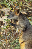 Swamp Wallaby Browsing Acacia