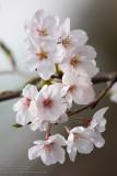 Hakone and Sakura 2010