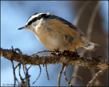 0849 Red-breasted Nuthatch.jpg