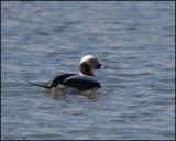 0582 Long-tailed Duck.jpg