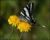 1734 Zebra Swallowtail summer form
