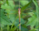 1833 Needham's Skimmer female.jpg