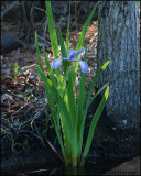 1843 Iris.jpg