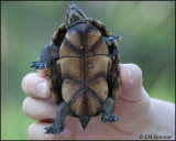 1857 Eastern Mud Turtle