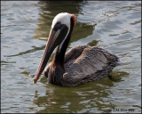 2044 Brown Pelican.jpg