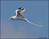 2214 White-tailed Tropicbird.jpg