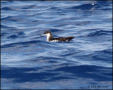 2390 Audubon's Shearwater.jpg