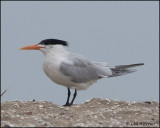 2447 Royal Tern.jpg