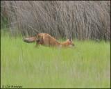 2671 Red Fox.jpg
