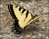 2703 Eastern Tiger Swallowtail.jpg