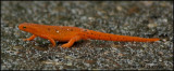 2717 Red Eft phase of Eastern Newt.jpg