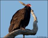 1216 Turkey Vulture.jpg