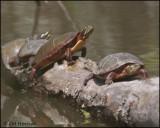 1270 Midland Painted Turtles.jpg
