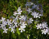 2841 Wild Blue Phlox