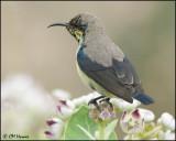5577 Purple Sunbird.jpg