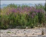 3790 Purple Loosetrife.jpg