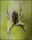 3829 Black and Yellow Argiope spider female ventral with prey.jpg