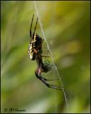 3832 Black and Yellow Argiope Spider female.jpg