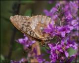 3963 Great Spangled Fritillary on Purple Loosetrife.jpg