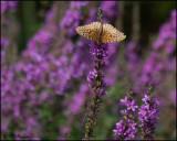 3968 Great Spangled Fritillary on Purple Loosetrife.jpg