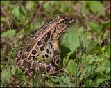 4148 Leopard Frog.jpg