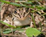 4153 Leopard Frog.jpg