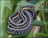 4214 Eastern Garter Snake.jpg